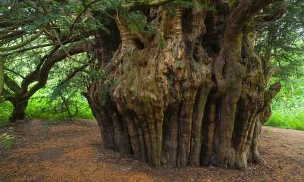 Ashbritle Yew