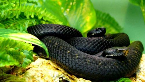 यह हैं काले माम्बा के बारे में कुछ चौंकाने वाले तथ्य - Amazing facts about black mamba